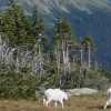 Mountain Goats in the Meadow